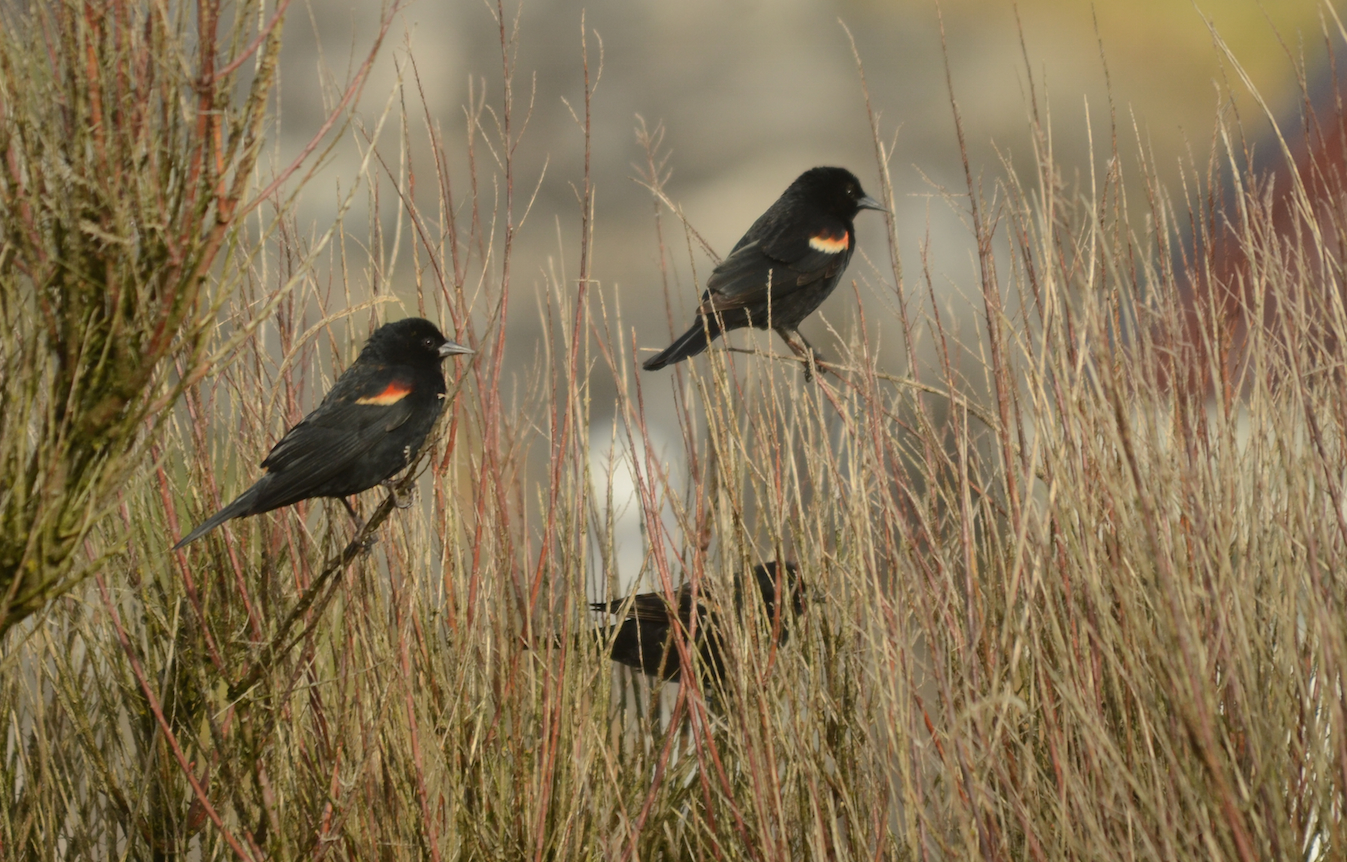 A brief visit was made by six Red-winged Blackbirds.