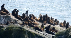 Sea lions wake up and smell the kayakers. Looking alert but not too disturbed.