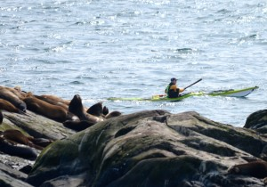 Paddler passes close by sleeping sea lions.