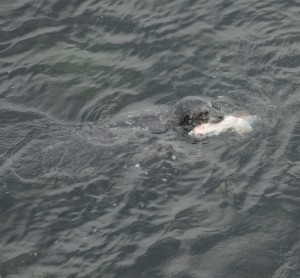 This Harbour Seal was really exerting itself to rip up a lingcod.