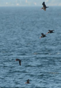 Black Oystercatchers out for an evening flight.