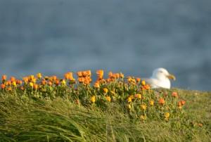 Calendula blooming near Glaucous-winged Gull nest.