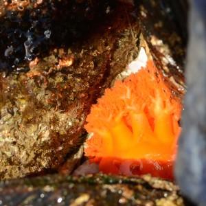 Cucumaria Dodecaceria