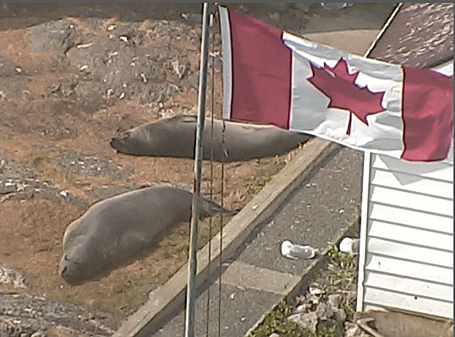 canadaelephantseal