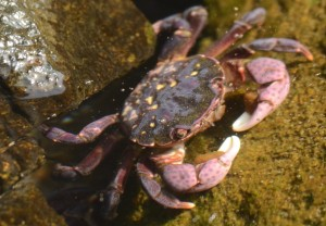 crab_id