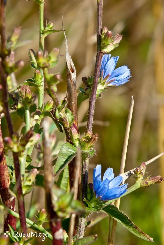 flower blue lettuce