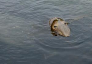 floyd's kelp bonnet