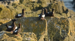 Guillemots at home on Great Race now.