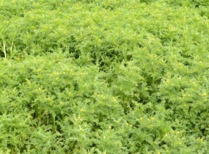 Tall pineapple weed covers the area occupied by sealions last fall and winter.