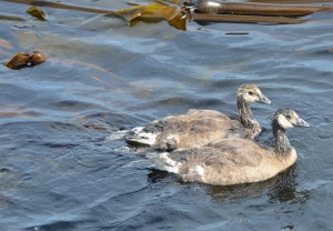 CaGo goslings swim