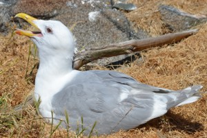 Gulls can keep their eggs at just the right temperature by evaporative cooling through panting.