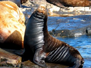 gf15092006calsealion