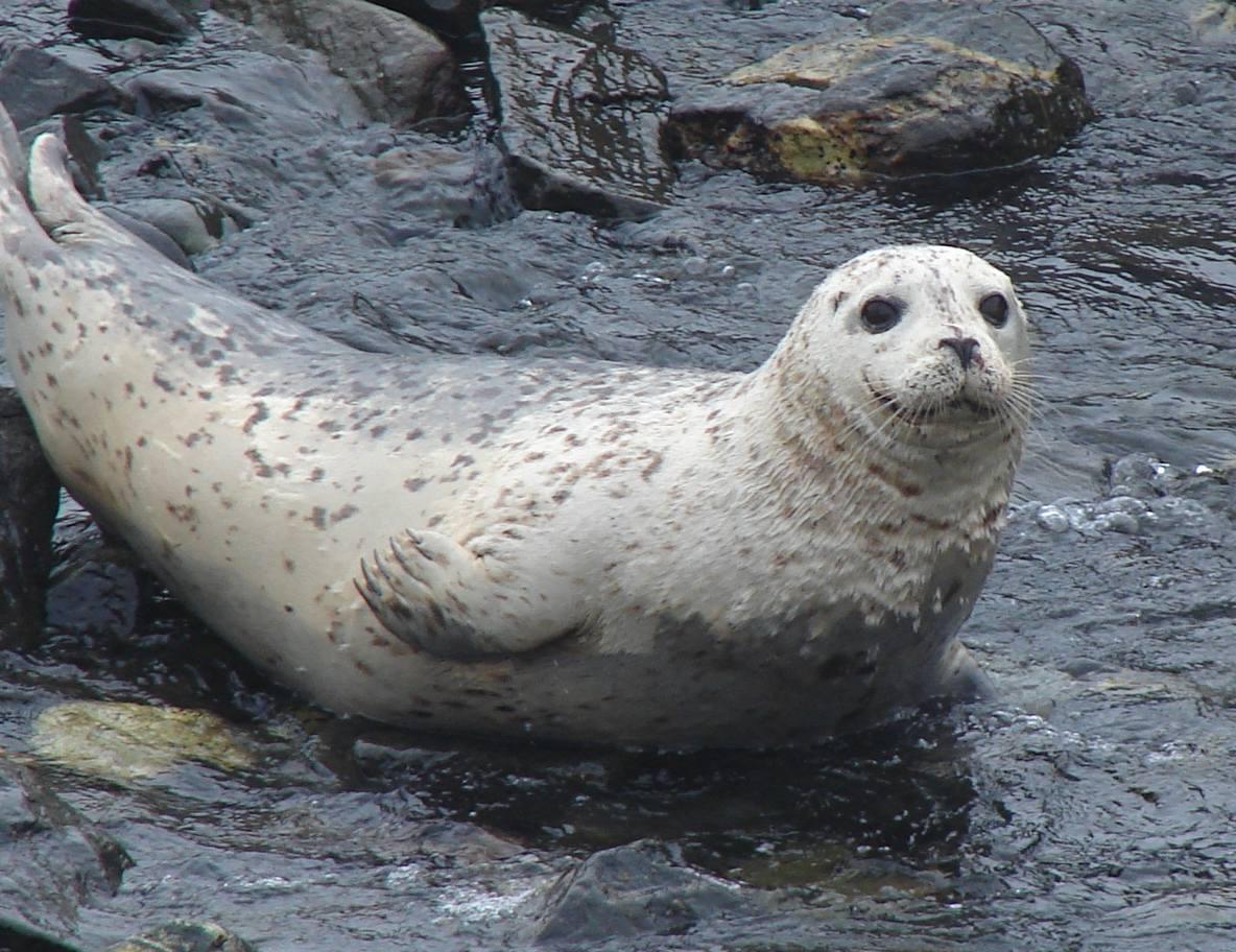 Class Mammalia Race Rocks Ecological Reserve Marine Mammals Harbor Seal Skeleton Diagram Skeletal Anatomy Silver