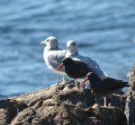 Two Black Oystercatchers and a couple of California Gulls rest together on south side of Great Race.