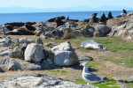 Two Northern Elephant Seals decide the cairns are a good place to sleep too.