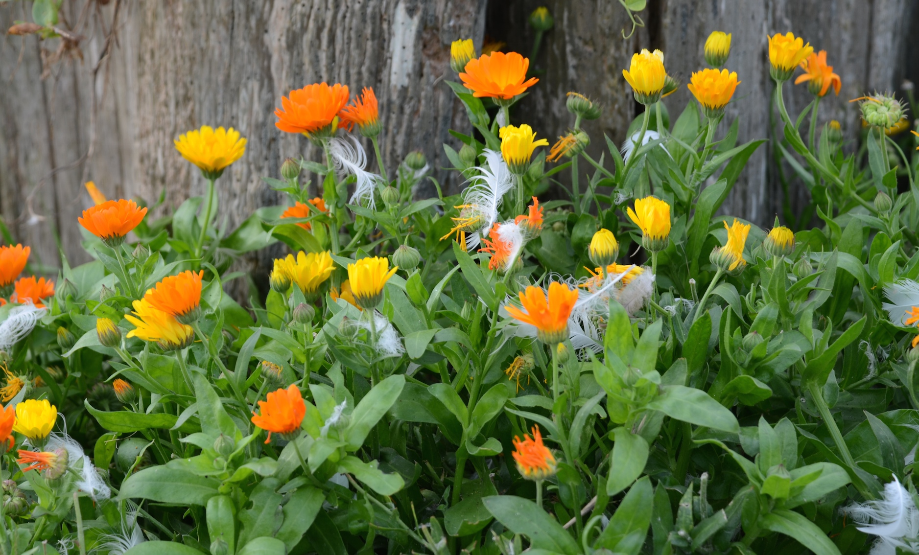 Calendula officinalis