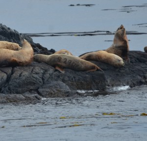 Stellers Sea Lion in the middle is branded 929R meaning it was weaned in the very south end of  the Oregon coast.