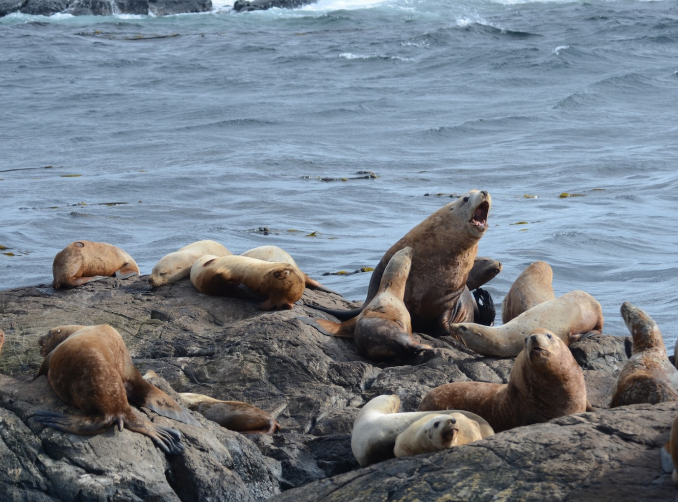 Size difference between males and females is obvious in Steller Sea Lions.