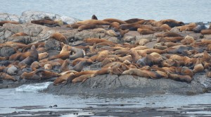 Spot the Northern Elephant Seal amongst the Northern Sea Lions?