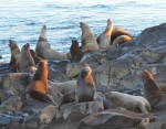 """""""Necklaced Stellers Sea Lion visible top left."""