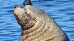 This big old male Stellers Sea Lion has a spot of blood on the left side of his neck.