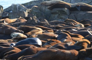 Wall to wall sea lions.