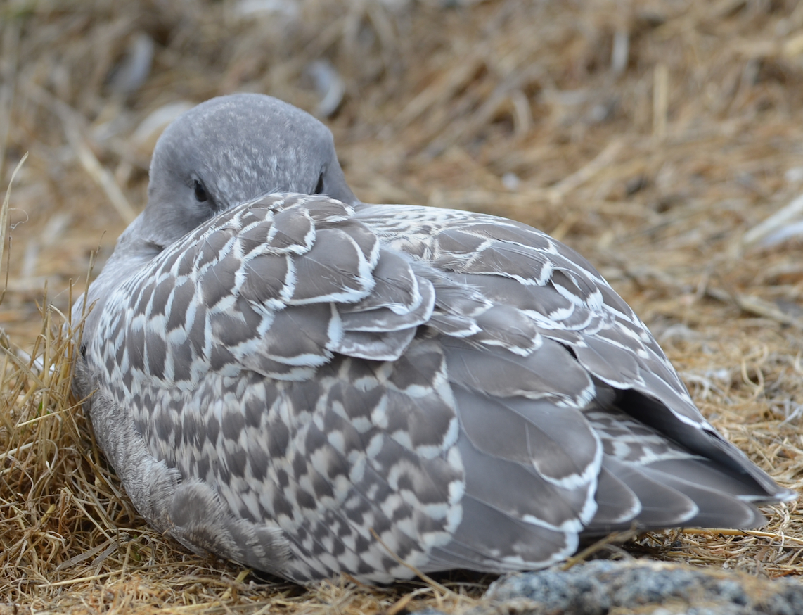 Here's a juvenile Glaucous-winged Gull with beautiful plumage.