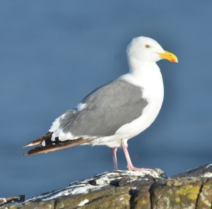 Looks like a Thayers Gull except for the yellow eyes and pale pink legs which make it look like a Herring Gull.