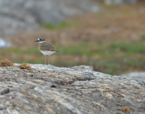 There were two Killdeer here during daylight today.