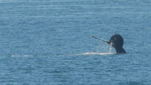 Humpback Whale diving just off of West Rocks.
