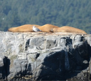 Three Northern Elephant Seals sound asleep atop Middle Rock. Note the small fore-flippers compared to the sea lions.