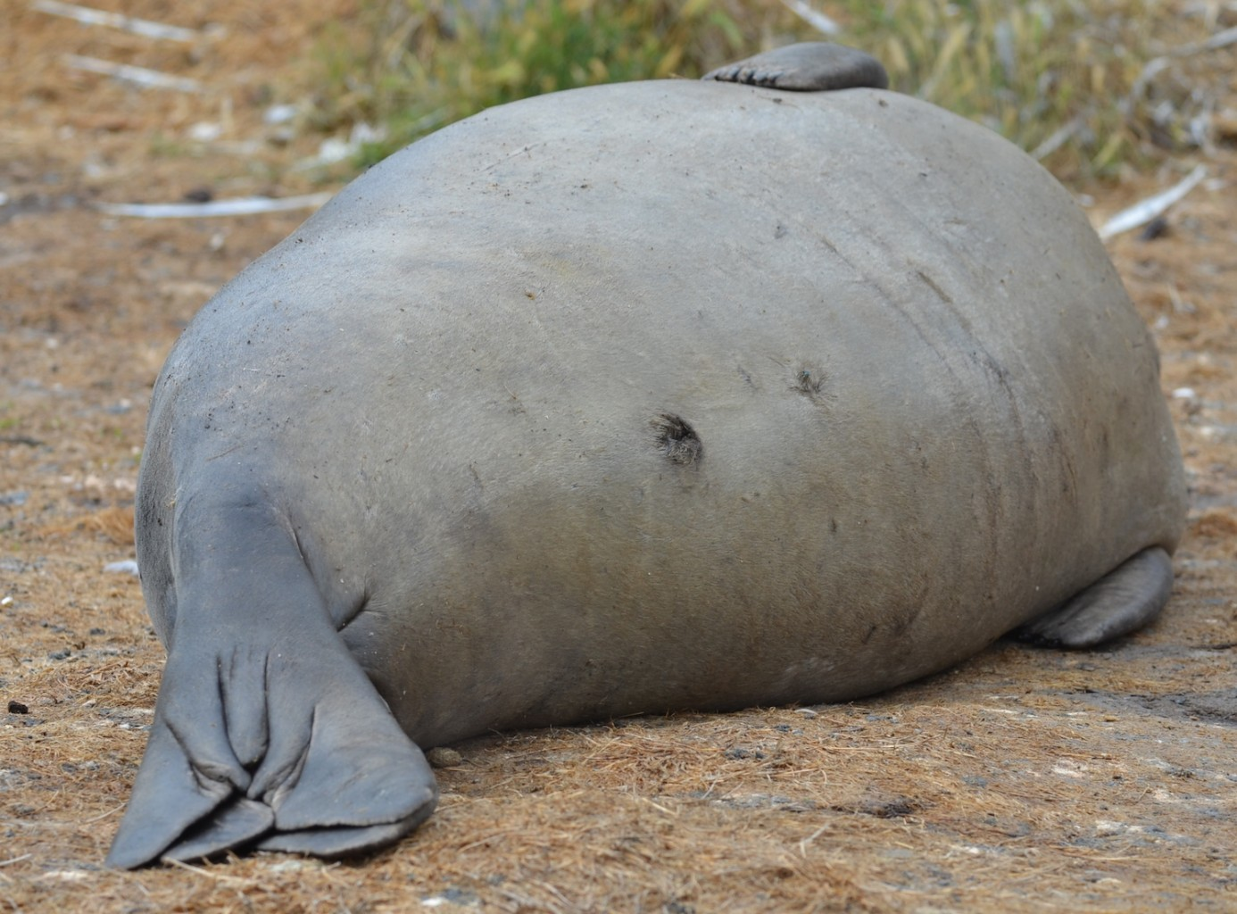 Rotund, young male elephant seal.
