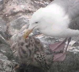 PB -gull-chicks hatched