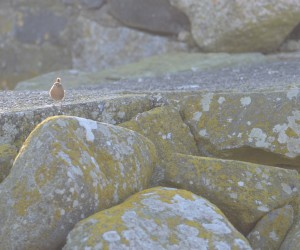 A lively little Pacific Wren has taken up residence in the rock wall.