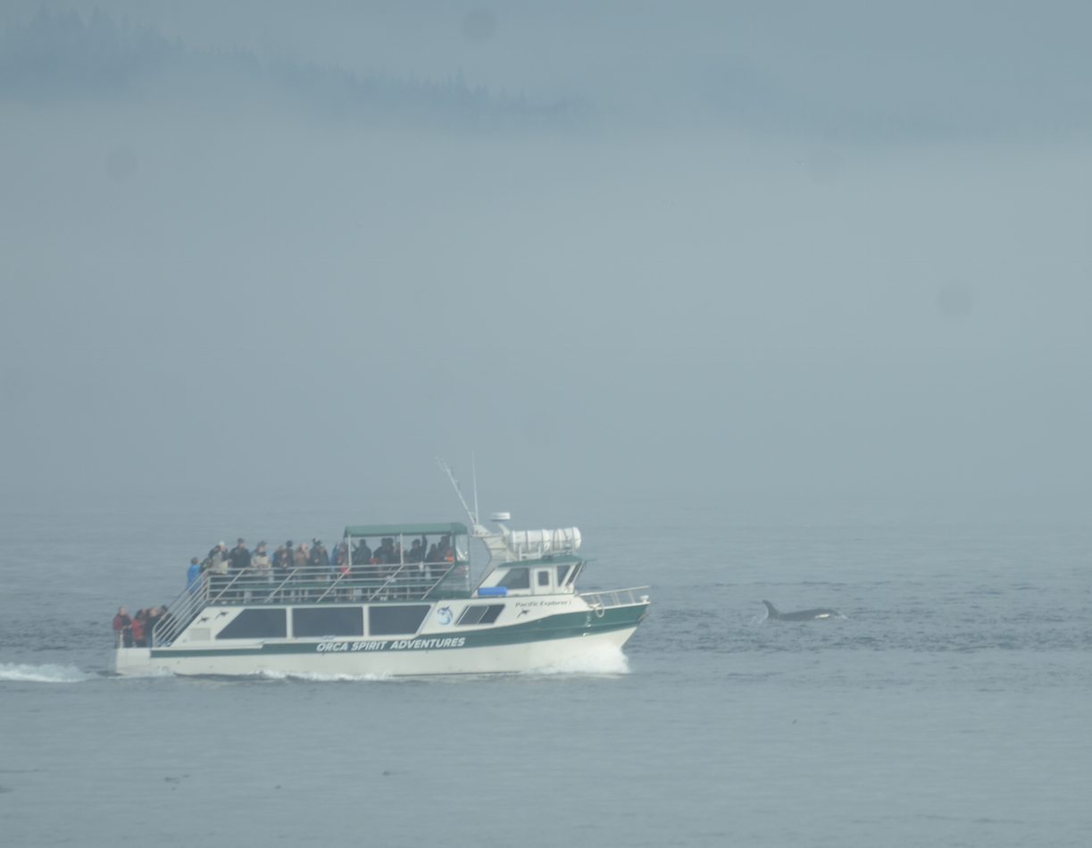 Whale watching vessel and killer whale.