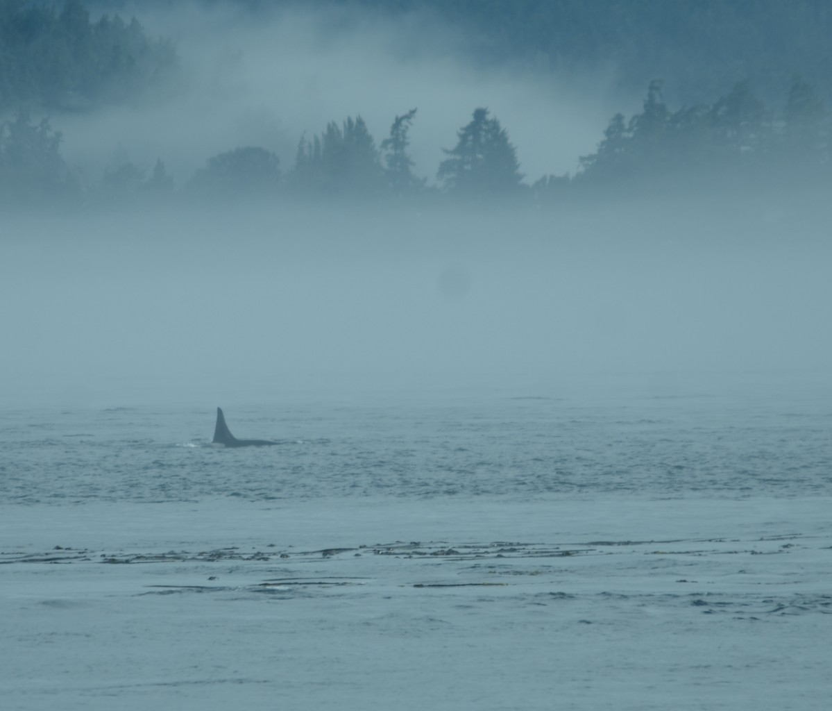 Southern resident killer whale travelling east in Race Passage.