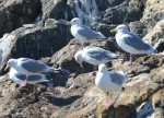 Thayer's Gulls are becoming ubiquitous.