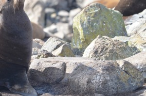 Sea lions are damaging the ancient burial cairns by hauling out on them repeatedly.