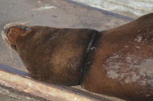 California sea lion with a deadly plastic strap around its neck.