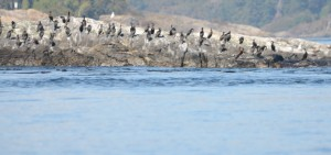 Cormorants roosting on North Rock.