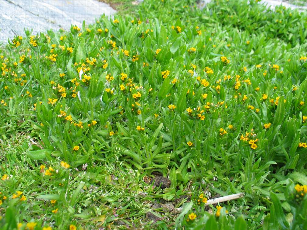 A patch of Amsinckia menziesiiin bloom
