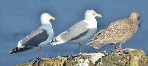 Gulls are tricky to identify especially when they hybridize and when there are exceptions to the rules.