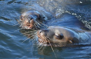 These two Stellers Sea Lions spent hours play-fighting in the water.