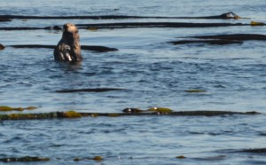 Sea Otter has a good sense of smell and must have been able to smell us over the overwhelming eau de sea lion.