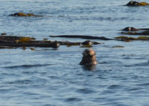 This lone male sea otter has several favourite kelp beds.