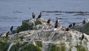 All three species of cormorants can be seen here, if you look carefully.