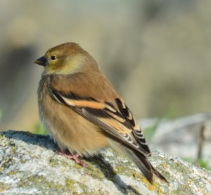 Nice winter plumage colours of this little male American  Goldfinch.Spinus tristis