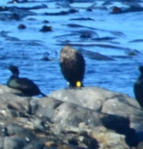 Cormorant with  bands on legs. Head is bent around to back on left side.