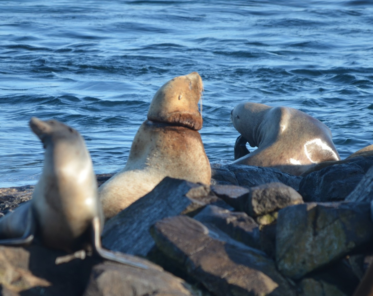 The Stellers Sea Lion in the top middle of this photograph, has something around its neck and cutting into its' flesh.