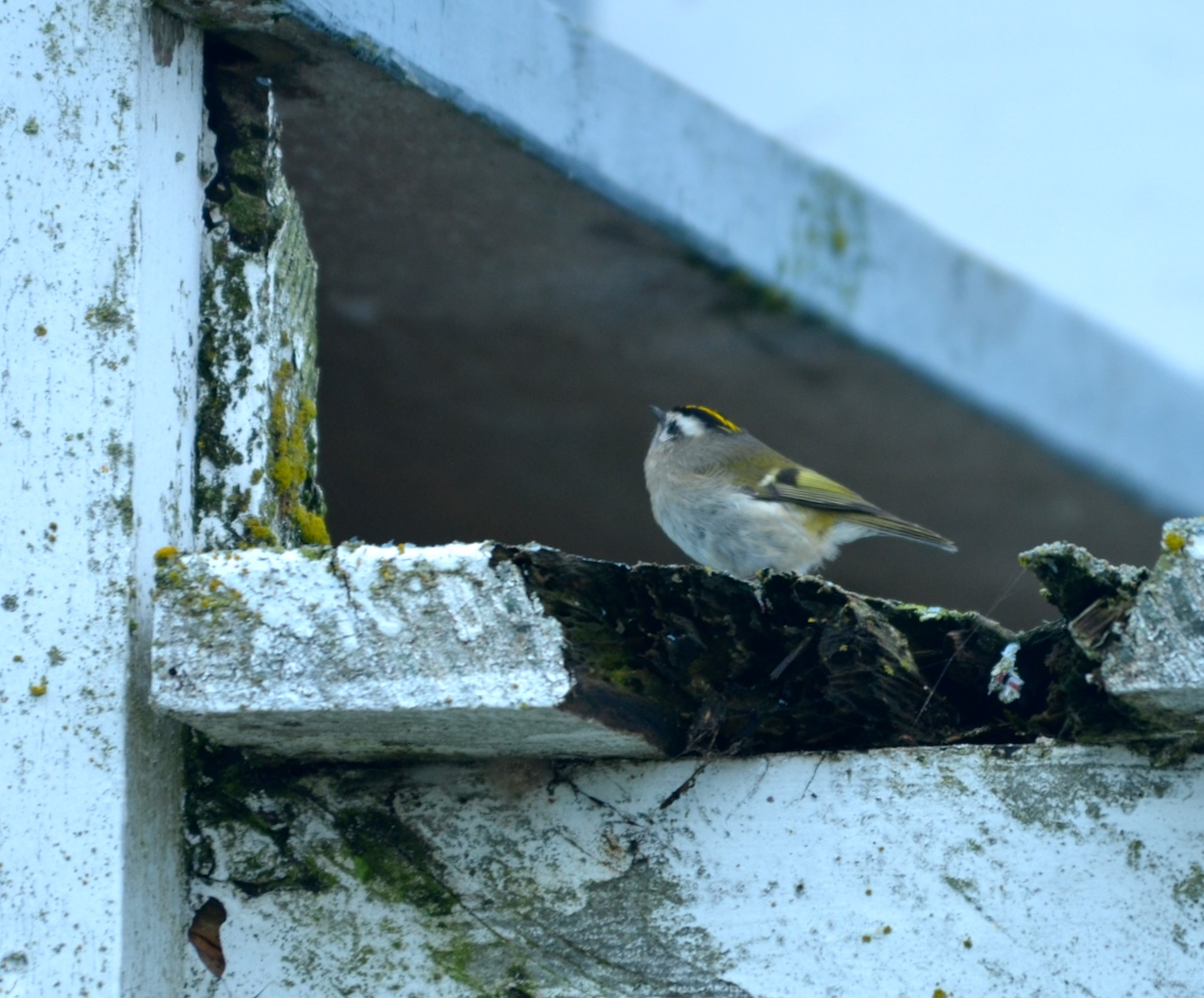There are plenty of insects on these rotting stairs to feed one little kinglet for a long time.